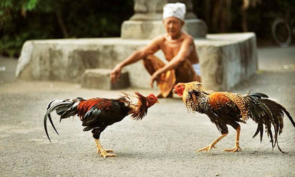 Các hình thức chấp trong chọi gà