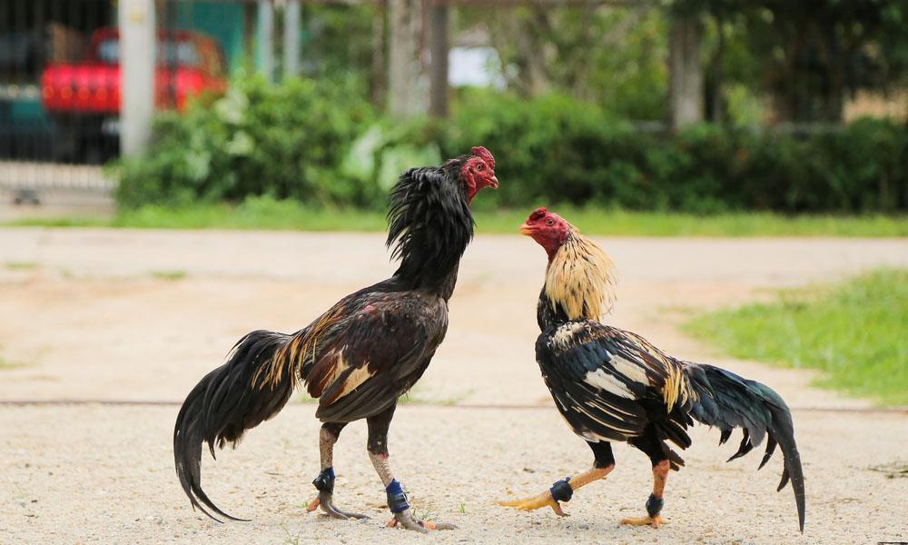 Xem thành tích của gà ở những trận đấu trước