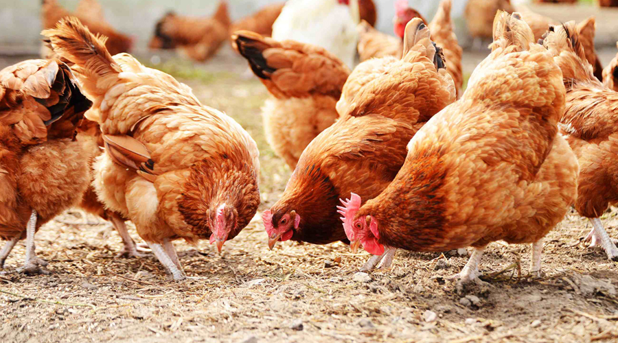 Cách chữa trị gà bị khô chân