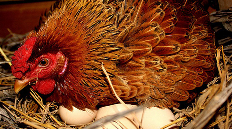Mơ thấy gà trống đẻ trứng